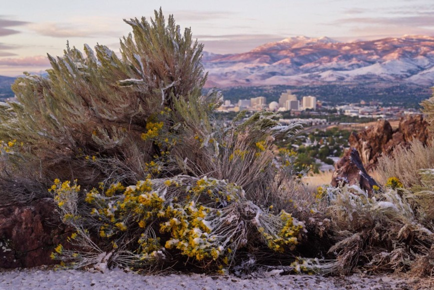 Snow on plants and City of Reno skyline