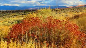 Sage showing fall color on Peavine Mountain