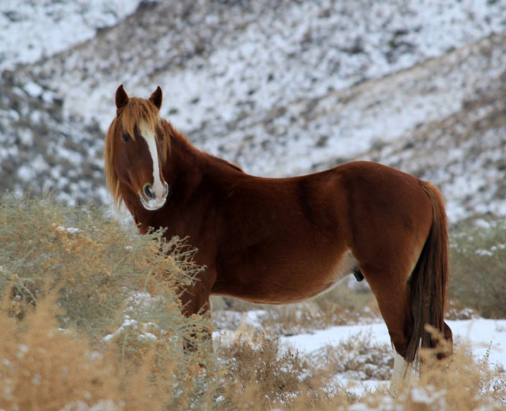 Wild horse in front of snow covered mountain
